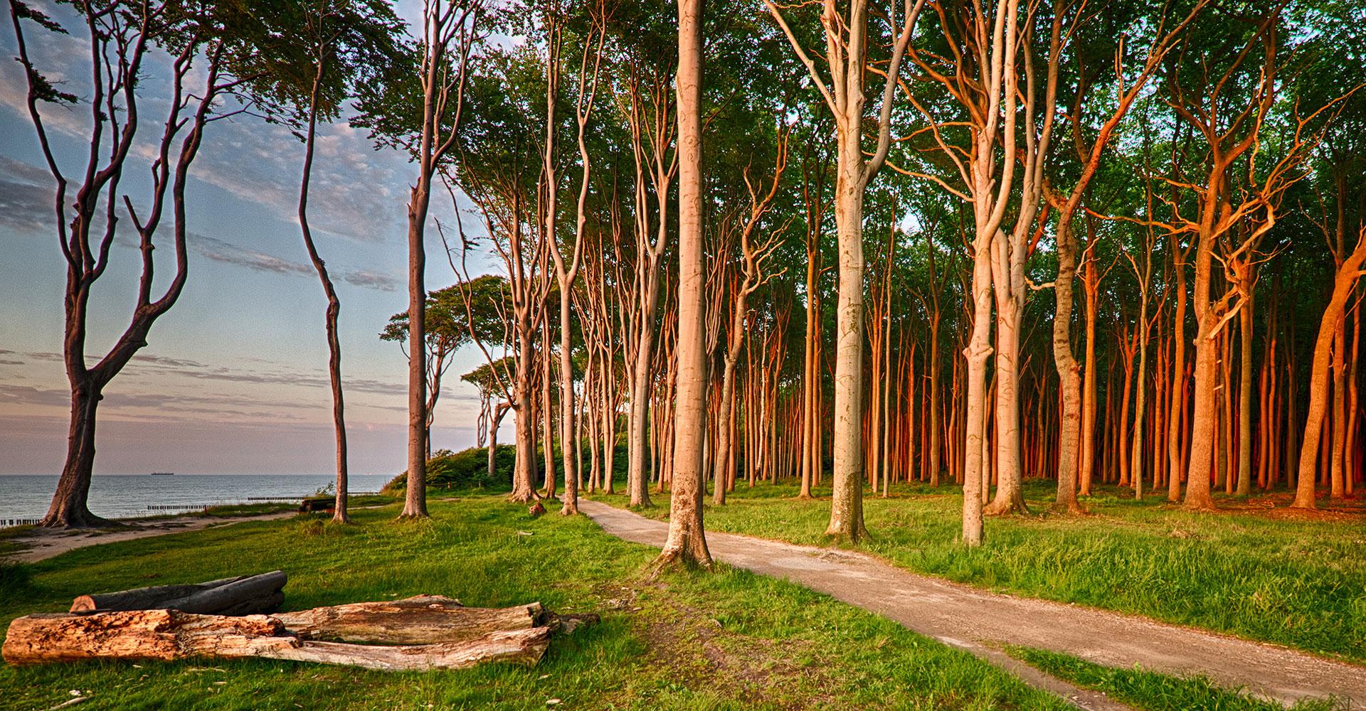 Gespensterwald bei Neinsagen an der Ostsee bei Sonnenuntergang