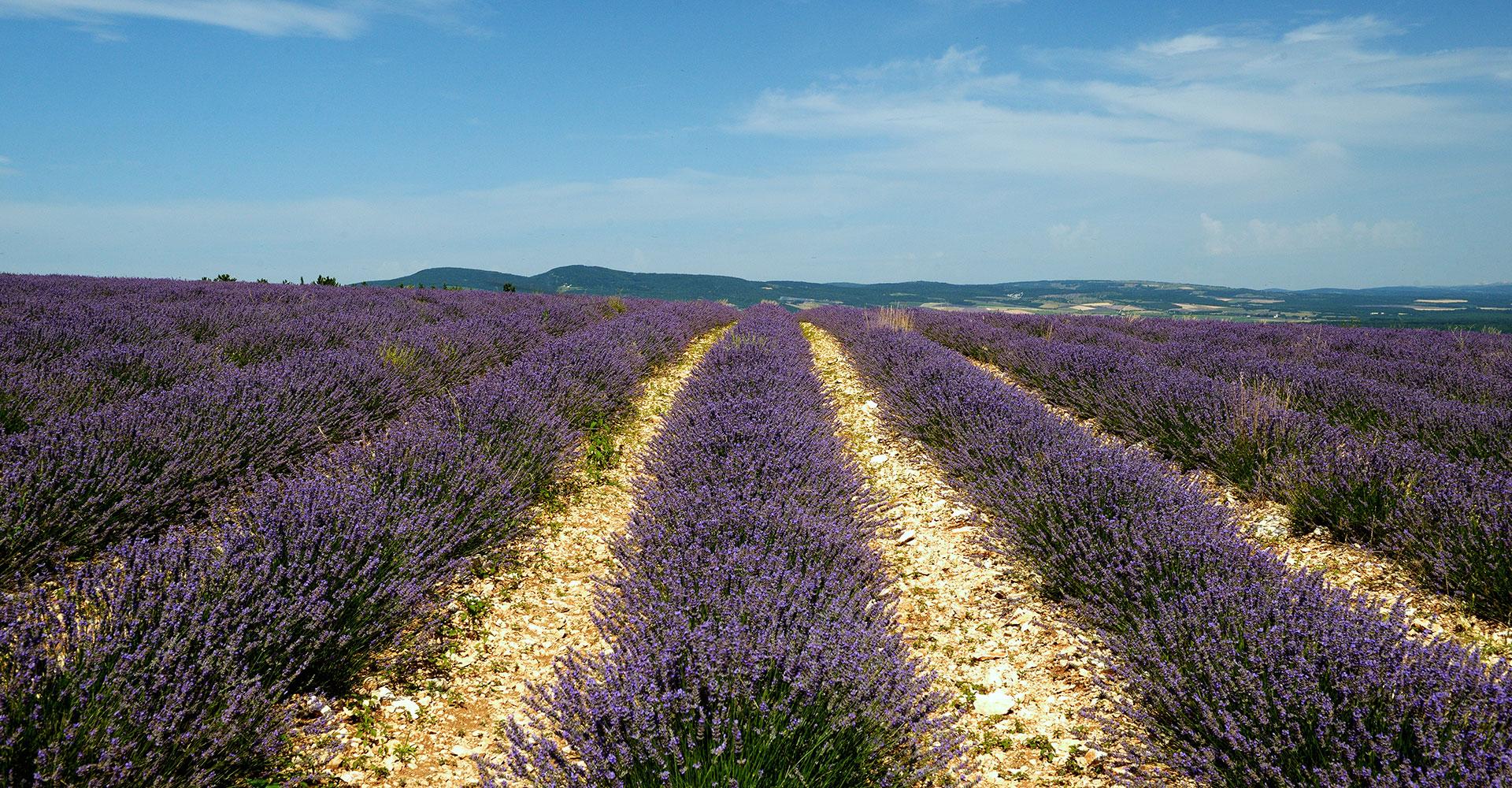 blühendes Lavendelfeld in der Provencenz